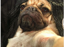 Dug the Pug does Kim Kardashian