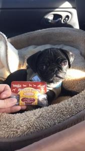 Bacon the Pug