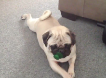 Pug crawling Pug loves pacifiers pacifier