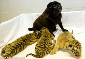 Pug with tiger cubs