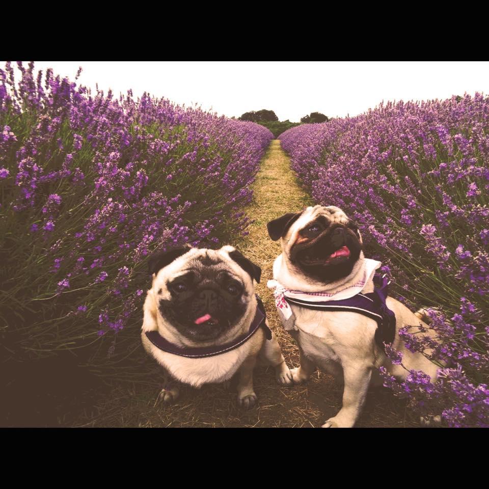 pugs in lavender