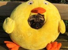 pug Duck