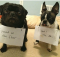 Pug_and_Frenchie
