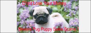 Pug puppy scams
