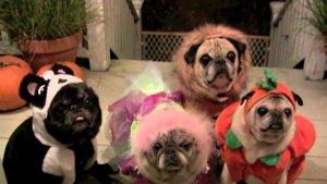 Halloween Pug Costumes