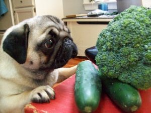 Pug with brocolli