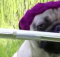 Pug playing flute