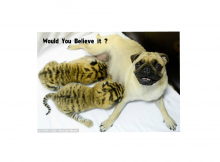 Tiger Cubs with Pug Mother