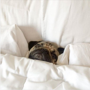 Bed time for Pugs