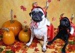 Chevy and Chase the little devil pugs!