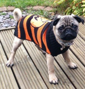 My 4 and a half month old pug Suggs modelling his Halloween jumper
